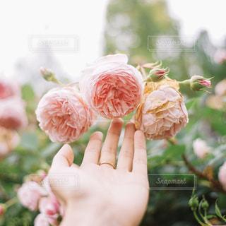 自然,アウトドア,花,夏,自撮り,バラ,美しい,可愛い
