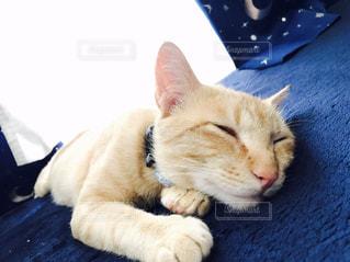 青い表面上に横たわる猫 - No.814570