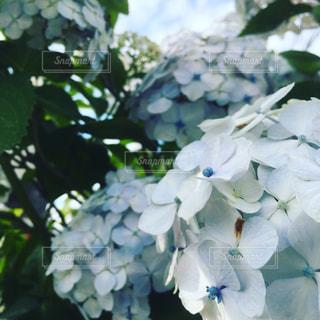 紫陽花の写真・画像素材[353864]