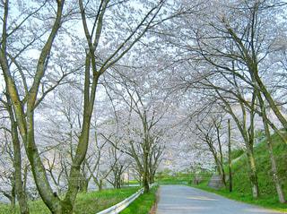 桜並木の写真・画像素材[365932]
