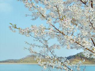 桜の写真・画像素材[365933]