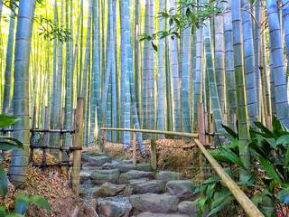 竹やぶの写真・画像素材[944181]