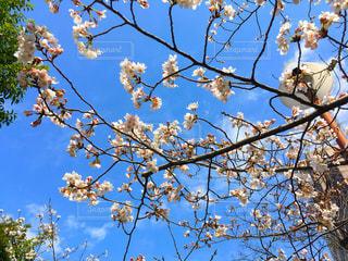 木の枝の写真・画像素材[1083333]