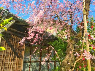 桜の写真・画像素材[1084214]