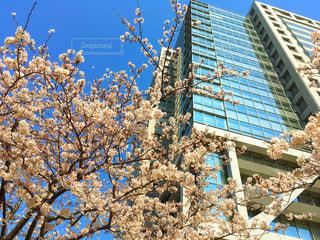 桜とビルの写真・画像素材[1084216]