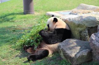 パンダの写真・画像素材[300458]