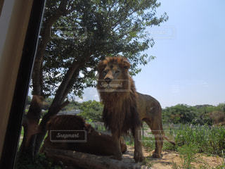 ライオンの写真・画像素材[300496]