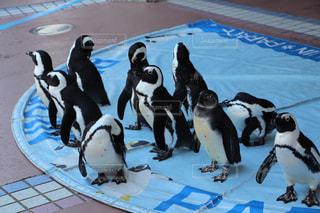 ペンギンの写真・画像素材[300500]