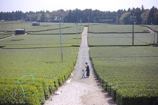 茶畑での写真・画像素材[1213288]
