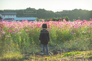 コスモス畑をみる男の子の写真・画像素材[3812472]