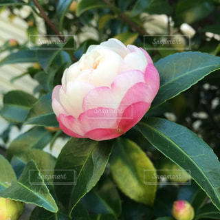 花の写真・画像素材[252975]