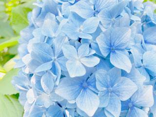 紫陽花の写真・画像素材[1266589]