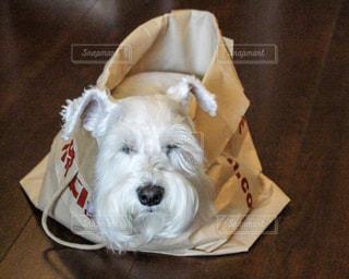 紙袋の中で寝る犬の写真・画像素材[1314282]