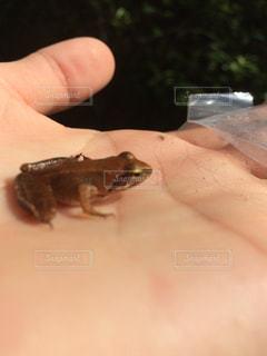 カエルの写真・画像素材[253266]