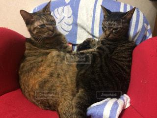 猫の写真・画像素材[253430]