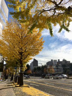2018年11月の仙台市の銀杏並木の写真・画像素材[1625914]