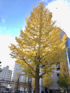 2018年11月の仙台市の銀杏の木の写真・画像素材[1625915]