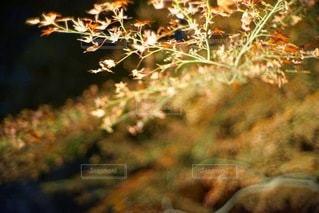 紅葉の写真・画像素材[5993]