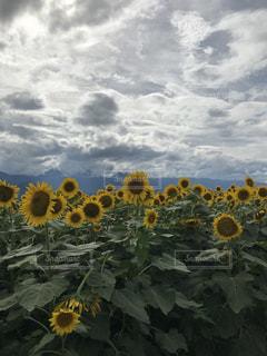 ひまわり畑の写真・画像素材[1389153]