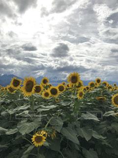 ひまわり畑の写真・画像素材[1389169]
