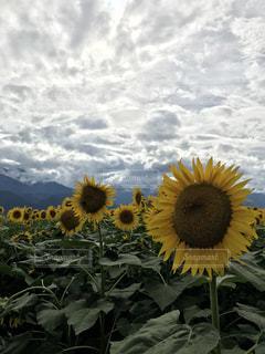 ひまわり畑の写真・画像素材[1389172]