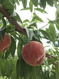 近くの枝からぶら下がってフルーツ アップの写真・画像素材[1389213]