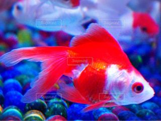 魚の写真・画像素材[256180]