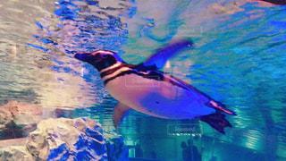 ペンギンの写真・画像素材[884604]