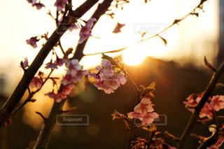 夕方の梅の写真・画像素材[1023972]