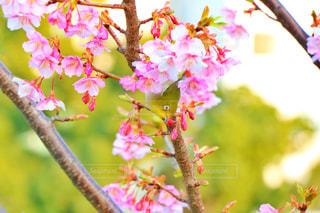 小鳥と梅の写真・画像素材[1023975]