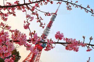 梅と東京タワーの写真・画像素材[1023979]