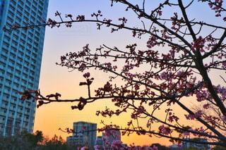 夕暮れと梅と空の写真・画像素材[1023980]