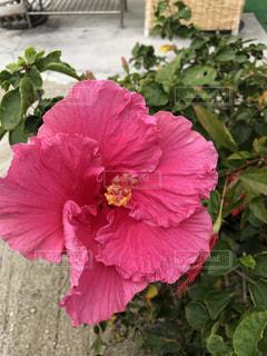 ハイビスカスの花の写真・画像素材[1023178]