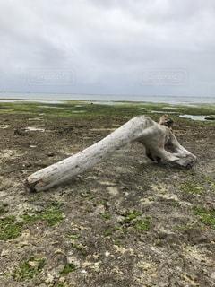 石垣島の流木の写真・画像素材[1023184]