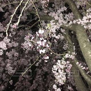 桜の木の中で - No.1100110