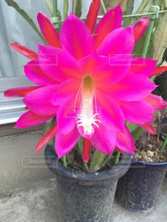 サボテンの花の写真・画像素材[2440260]