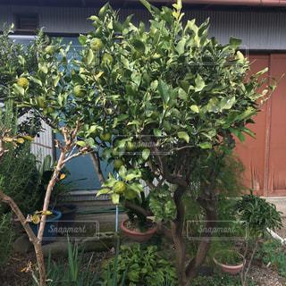 柚子の木の写真・画像素材[2732068]