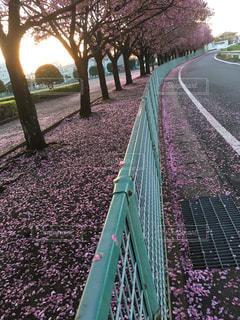 桜の写真・画像素材[3101073]
