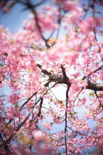 ピンクの花の木の写真・画像素材[1044486]