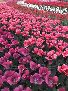 紫の花の束の写真・画像素材[1129659]