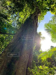 森の中の大きな木の写真・画像素材[3140791]