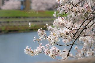 No.464563 桜