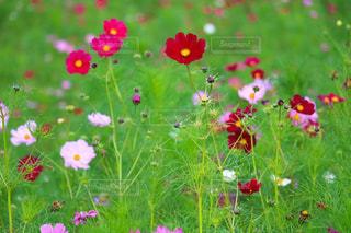 花の都公園の秋桜畑 - No.728624