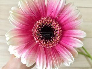 ピンクのガーベラの写真・画像素材[301368]