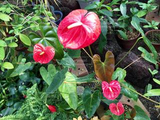 赤い熱帯植物の写真・画像素材[456560]