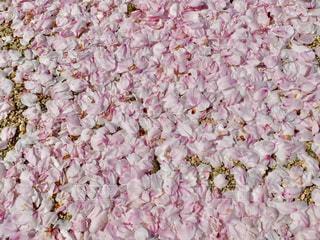 桜の絨毯の写真・画像素材[456584]