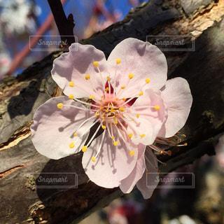 桃の花のアップの写真・画像素材[1025785]