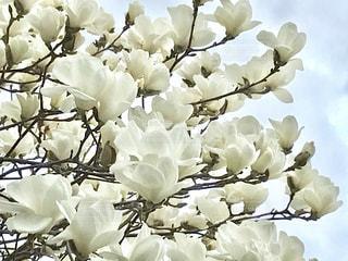 満開の白木蓮の花。の写真・画像素材[1064261]