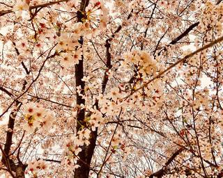 満開の桜🌸の写真・画像素材[1068684]
