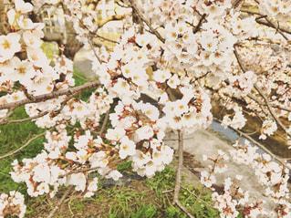 近所の桜も咲き始めました🌸の写真・画像素材[1085217]
